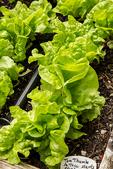 Tom Thumb lettuce plants