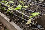 Tri-color pole bean seedlings growing.