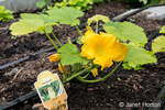Crookneck Squash plant with blossom.
