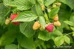 Raspberries on the vine in various stages of ripeness.