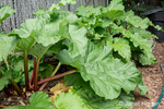 Over-wintered rhubarb plant ready to harvest.