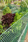 Red Leaf and Romaine lettuce grown in a plastic fenced raised bed to deter rabbits from eating it.