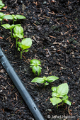 Basil plants growing from seed in an herb garden