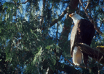 Bald Eagle, Halioeetus leucocephalus, evergreen tree perch, Tofino, British Columbia, Canada, Vancouver Island, west coast, North America,