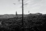 Clear-cut, U.S.A., Lone fir tree, denuded forest, Wahkiakum County, Southwestern Washington State, Pacific Northwest,