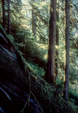 Old growth fir forest, Douglas Fir, Noisy Creek Preserve, The Nature Conservancy, Cascade Range, Washington State, Pacific Northwest, USA, Preserve has since become part of the Mount Baker National Forest, 