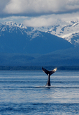 Alaska, Humpback Whale, whale tail, Icy Straits, Point Adolphus, Chichagof Island, the Inside Passage, Southeast Alaska, Megaptera novaeangliae, USA