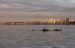 Seattle, Orca whales, Orcinus orca, sunset, skyline, Elliott Bay, Puget Sound, Washington State, Pacific Northwest, USA,