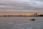 Seattle, Orca whales, Orcinus orca, sunset, skyline, Elliott Bay, Puget Sound, Washington State, Pacific Northwest, USA,