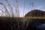 Puget Sound; Ika Island, salt marsh, Bullrush, Skagit Bay; Skagit County; Washington State; Pacific Northwest; USA; marine forest island habitat;