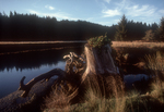 Washington State, Willapa Bay, Bone River, Pacific County, estuarine distributaries, old growth stump,