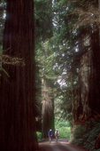 Redwoods, California, mountain bikers, Jedediah Smith State Park, mature old growth trees, Howland Hill Road,