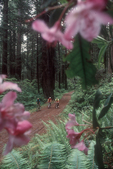 Redwoods, California, mountain bikers, Rhododendron macrophyllum, bloom, Jedediah Smith State Park, mature old growth trees, forest road,