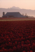 Tulip fields, Skagit Valley, Mount Baker, farmland, sunrise, Washington State, Cascade Mountains, Pacific Northwest, USA,