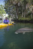 Manatees, endangered species, Weeki Wachee River, Florida, Gulf Coast, U.S.A., Gulf of Mexico, sea kayakers,