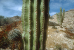 Mexico, Cardon cactus, Baja, Baja Sur, Gulfo de California, Gulf of California, Mexico, North America,