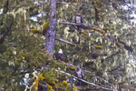 Alaska, Prince William Sound, Bald Eagles, Haliaeetus leucocephalus;  Esther Passage, Adult and two well camoflauged immature eagles roosting in a Sitka Spruce, Picea sitchensis,
