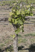 Columbia Basin, Wahluke Slope, Vineyard, Drip Irrigation, spring, Agriculture, Columbia Basin, eastern Washington, Washington State, Pacific Northwest, USA, North America,