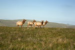 CALIFORNIA - Tule elk in the meadows along the Tomales Point Trail in Point Reyes National Seashore.