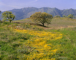 CALIFORNIA - Oak tree and flower covered meadow on Figueroa Mountain in San Rafael Mountains of the Los Padres National Forest.