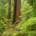 CALIFORNIA - Redwood trees in Muir Woods National Monument.