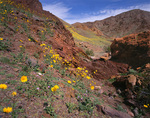 CALIFORNIA - Desert sunflower blooming on the lower slopes of the Black Mountains in Death Valley National Park.