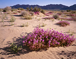 ARIZONA - Sand verbena and a desert lily on Mohawk Dunes in the spring time with the Mohawk Mountains in the distance.