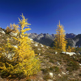 WASHINGTON - Larch trees in autumn yellow near Horsefly Pass on the Maple Pass Loop in North Cascades National Park.