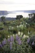 WASHINGTON - Lupine blooming on the summit of Steamboat Rock aand Banks Lake in Steamboat Rock State Park.