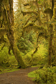 WASHINGTON - Moss covered maple trees at the Hall of Mosses in the Hoh River Rain Forest area of Olympic National Park.