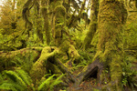 WASHINGTON - Hall of Mosses in the Hoh Rain Forest area of Olympic National Park.