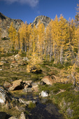 WASHINGTON - Larch in fall color along Ingalls Lake Way below Ingalls Peak in the Alpine Lakes Wilderness area of Wenatchee National Forest.