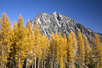 WASHINGTON - Larch trees in fall color and Mount Stuart from Ingalls Lake Way in the Alpine Lakes Wilderness area of Wenatchee National Forest.
