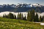 WASHINGTON - Mount Olympus from the avalanche lily covered meadows on High Divide in Olympic National Park.