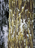 WASHINGTON - Moss and snow on trees along the winter route to the summit of Amabilis Mountain in the Okanogan-Wenatchee National Forest.