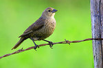 Female Brown-headed Cowbird perched on an old barbed-wire fence