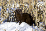 Mink standing in the snow among the cattails.