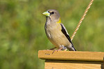 Female Evening Grosbeak on a bird feeder.