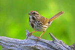 Song Sparrow perched on a log.