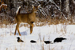 White-tailed deer alarmed by some crows