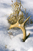 Antler shed from a white-tailed deer.