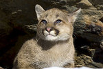 Young cougar peering out from a rock cavity.