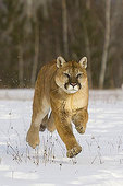Cougar, in mid-air, running through the snow.