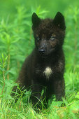 Black wolf pup in summer