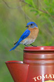 Eastern bluebird perched on a decorative coffee pot