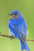 Male eastern bluebird perched on barbed-wire fence