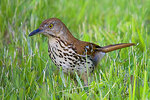 Brown thrasher looking for insects in the grass
