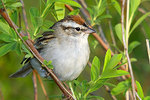 Chipping Sparrow (Spizella passerina) in spring