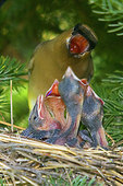 Cedar waxwing regurgitating a berry for nestlings