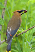 Cedar waxwing holding berry in bill